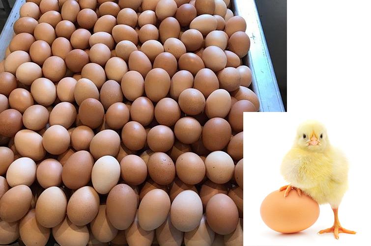 Kaip iš kiaušinių išperinti daugiau vištelių negu gaidelių?